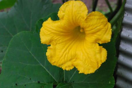 カボチャの花16