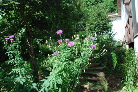 アザミ様3の花