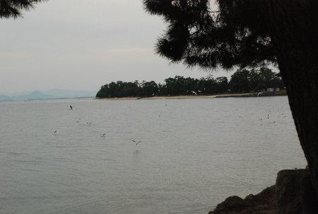 琵琶湖のかもめ147