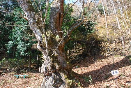 長老栃の木