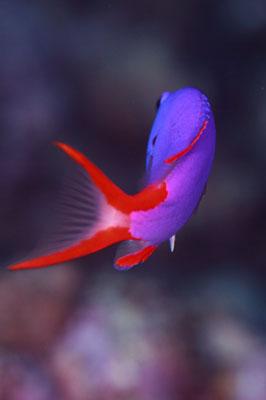 タテスジハタの幼魚