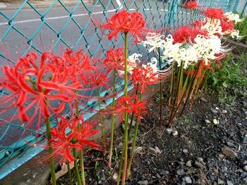 赤色と白色の彼岸花