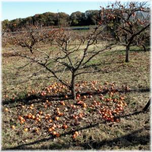 実を落とす柿の木