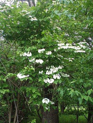 カンボク  後ろは桐の木