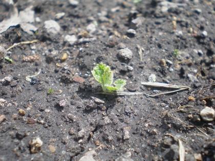 チョロギの芽 小さっ
