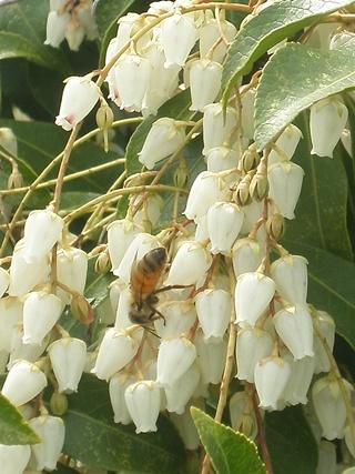 アセビと蜜蜂