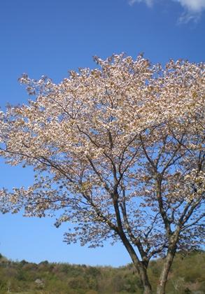 桜と青空  クリックで拡大します