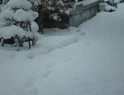 庭木にも雪被さる