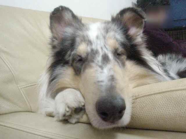 ソファで熟睡するゼッチ!