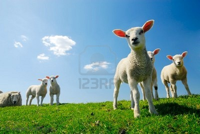 3033382-curious-lambs-looking-at-the-camera-in-spring.jpg