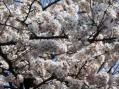 ソメイヨシノ2010・地元のA神社その4