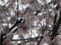 ソメイヨシノ2010・母校の小学校の外周の桜並木その1