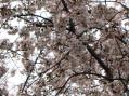 ソメイヨシノ2010・母校の小学校の外周の桜並木その3