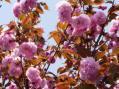 八重桜2010・自宅その2