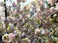 八重桜2010・KS私道その2