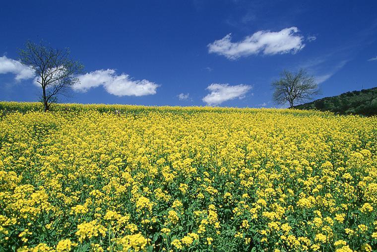 北信州菜の花畑
