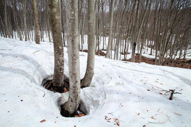 雪のぶな林