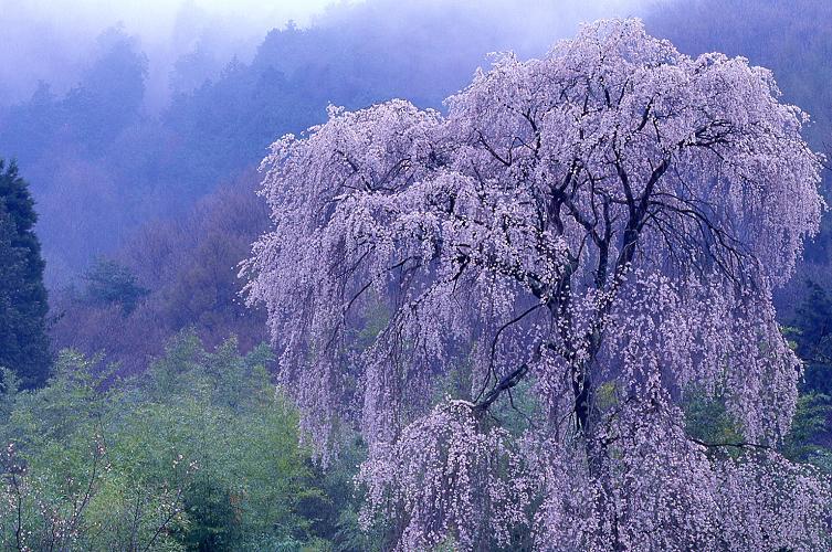 余里の枝垂れ桜