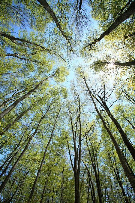 新緑ブナ林