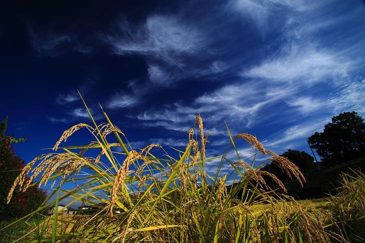 稲穂と秋雲