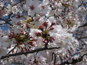 20100408お花見2