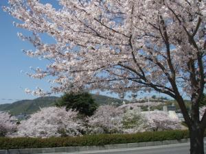 20100408お花見6