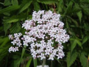 20100708東赤石山の花