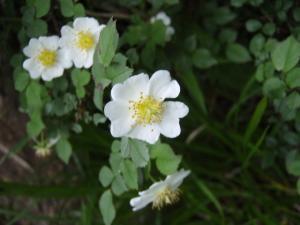 20100708東赤石山の花4