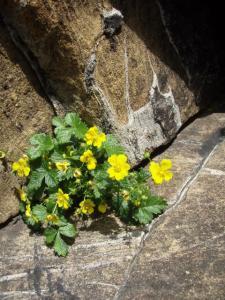 20100708東赤石山の花5