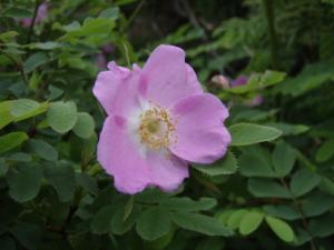 20100708東赤石山の花6