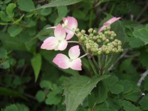 20100708東赤石山の花9