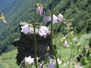 20100722ハクサンシャジン