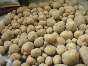 201007末-ジャガイモ収穫