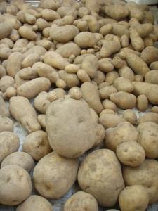 201007末-ジャガイモ収穫2