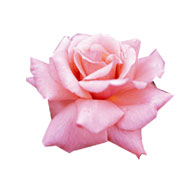 rose2[1]