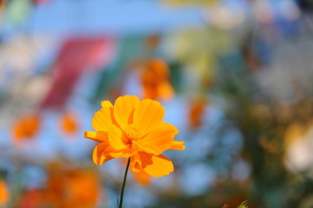 チベット寺院の小さな花