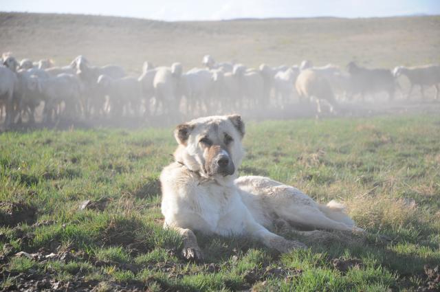 群れをバックに寝そべる犬