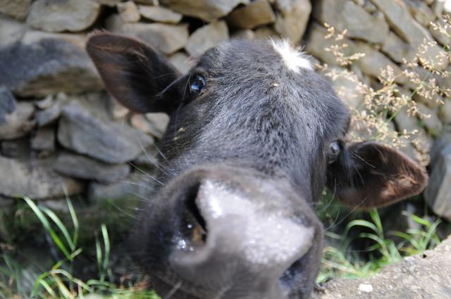 よく鳴く子牛