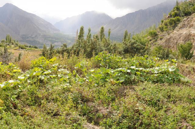 アルティット村の豊かな畑