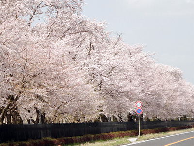 被災地でも桜が開花|京都・滋賀でリフォームするならフジ・ホーム スタッフブログ