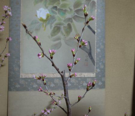 桜の花のつぼみ