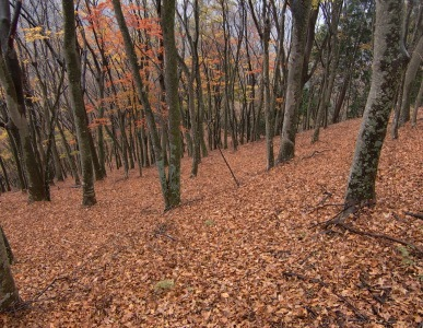 大山北尾根の紅葉