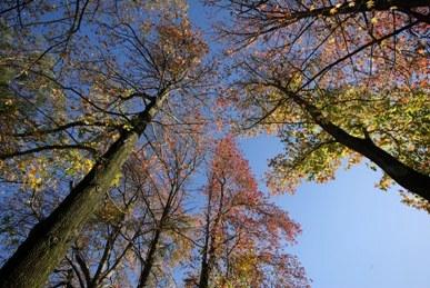 フウの木紅葉