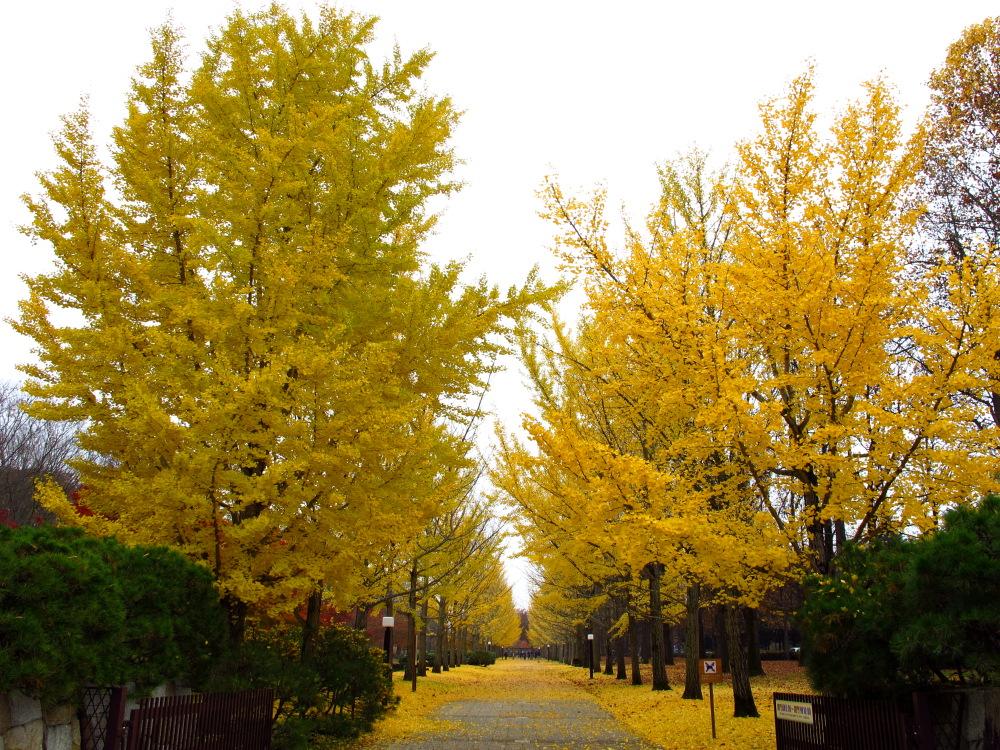 20131117_ichou.jpg