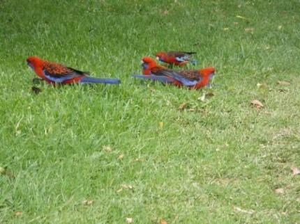 インコのような鳥3