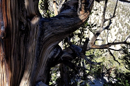 bristlecone pine (10)