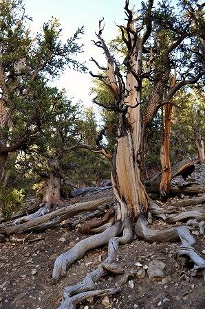 bristlecone pine (8)