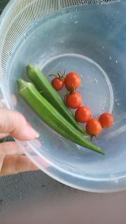 オクラとプチトマト