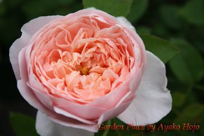 アンブレッチローズ1ピンクオレンジ