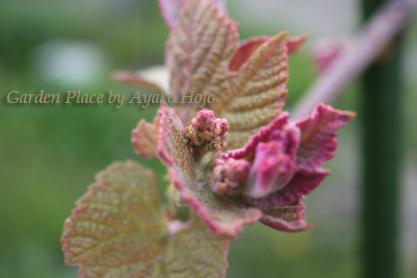 ぶどうの花芽